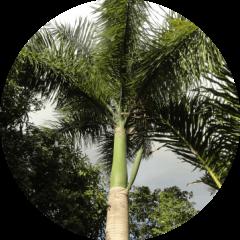 Palma real (Roystonea borinquena)