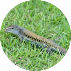 Siguana (Ameiva exsul)