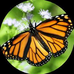Monarca (Danaus plexipus)