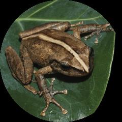 Coquí (Eleutherodactylus coqui)