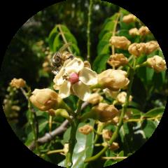 Cobana Negra (Stahlia monosperma)