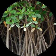 Mangle Rojo (Rhizophora mangle)